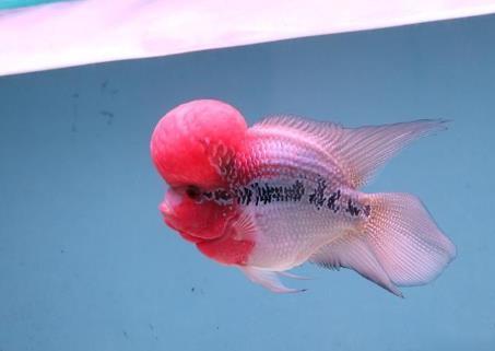 元宝罗汉鱼和短身罗汉鱼如何挑选区分?