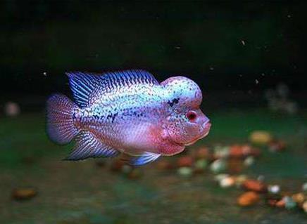 多小的罗汉鱼才算小罗汉鱼?